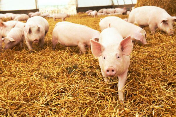 Απίστευτο: Γουρούνι κυνηγάει on air ρεπόρτερ του Παπαδάκη | imommy.gr