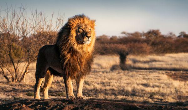 Ξεκαρδιστικό βίντεο: Δείτε ένα λιοντάρι να… φτερνίζεται | imommy.gr