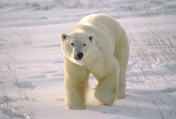 Βίντεο: Πολική αρκούδα κυκλοφορούσε βαμμένη με σπρέι | imommy.gr