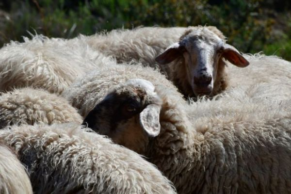 Κρήτη : Ένα πρόβατο με… GPS «έδειξε» τους ζωοκλέφτες   imommy.gr