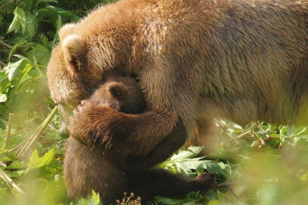 Αρκούδα πέφτει πάνω σε αμάξι για να σώσει το μικρό της | imommy.gr