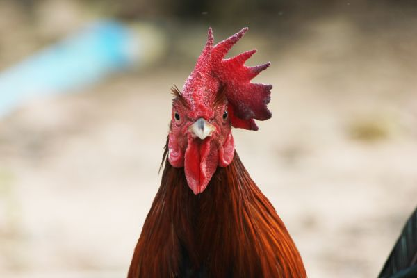 Γυναίκα στο Βέλγιο νόμιζε ότι ήταν… κόκορας   imommy.gr