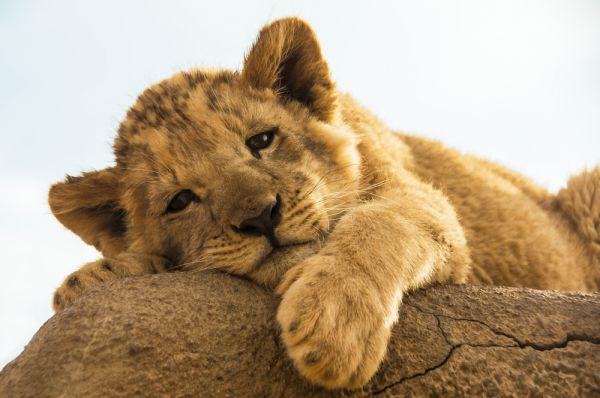 Φρίκη: Έσπασαν τα πόδια σε λιονταράκι για να φωτογραφίζονται μαζί του οι τουρίστες | imommy.gr