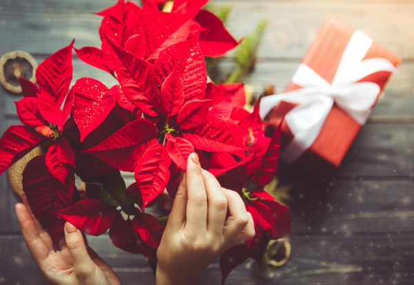 Τα χριστουγεννιάτικα φυτά που ομορφαίνουν τον χώρο μας | imommy.gr