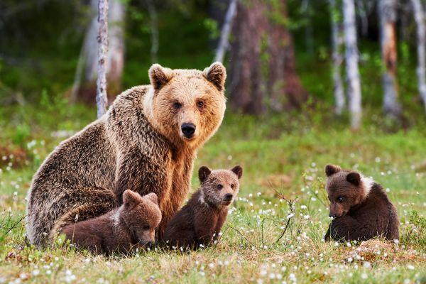 Μαμά η καλύτερη προστάτιδα: Δείτε το βίντεο μιας αρκούδας να προστατεύει τα μικρά της | imommy.gr